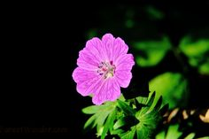 Summer Flower Macro | Flowers| Free Nature Pictures by ForestWander Nature Photography