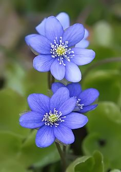Hepatica nobilis by nordfold, photo taken in Kiberg, Northern Norway