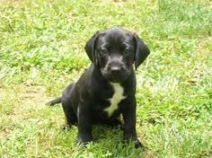 Image result for frenchie labrador mix