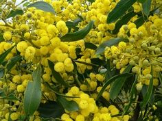Golden Wattle - Acacia pycnantha. The Green and Gold of Australia's official colours.