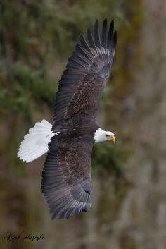 Bald Eagle - by Ari Hazeghi