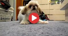 Videos Archives - Shih Tzu Buzz Small Puppy Breeds, Small Puppies, Shih Tzu Puppy, Shih Tzus, Puppy Hiccups, Dog Coughing, Employee Appreciation Gifts, Cat Run, Cavalier King Charles