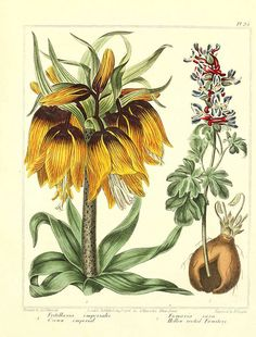 botanicals Fritillaria (Crown Imperial) and Fumaria. They used to combine more than one plant on a page to save space.