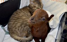 Baby goat lovingly cared for by his new cat friend