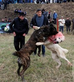 Dog fighting championship in Chechnya