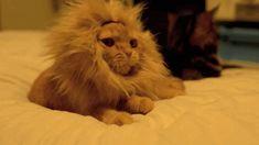 A cat looks like the lion