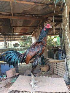 ไก่ไทย เก๋าไม่เก๋าดูที่เคราของไก่ได้ Animals And Pets, Funny Animals, Game Fowl, Chicken Pictures, Chicken Coup, Chickens And Roosters, Chicken Breeds, Hens, Bird Art