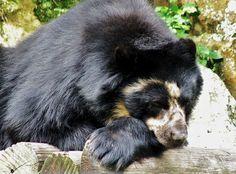 Spectacled Bear, Large Photos, Black Bear, Ferns, Angel, Cute, Bears, Pretty, Venezuela