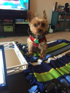 As pets, Teacup Yorkie dogs are adorable, If you are interested to know the list of Yorkie Dog Breeds that are popular today read the Guide About Teacup Dogs Yorkie Dogs, Yorkies, Chihuahua, Puppies, Small Dog Breeds, Small Dogs, Ugly Dogs, 10 Interesting Facts, Teacup Yorkie