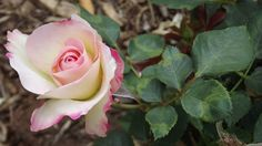 White Roses with Red Tips | Displaying (17) Gallery Images For White Roses With Pink Tips...