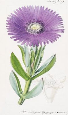 Mesembryanthemum acinaciforme. Scimitar-Leaved Fig-Marigold by  Walter Hood Fitch