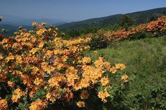 In June, the native flame azaleas (Rhododendron calendulaceum) erupt into bloom along the Appalachian Trail in the Roan Highlands of North Carolina and Tennessee. Nature's garden is beyond compare.