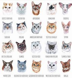 Recognize any of these cats? Illustration by Types Of Cats Breeds, Cat Breeds, Warrior Cats, Largest Domestic Cat, Cat Anatomy, Cat Drawing, Cat Face, Beautiful Cats, Crazy Cats