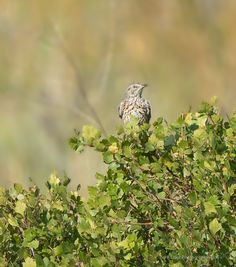 Sage Thrasher ©Kevin Rutherford. Wild Bird Company - Boulder, CO, Saturday Morning Bird Walk in Boulder County - August 22, 2015