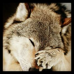 How adorable is this Wolf. am in love if I only were a wolf too then life would be perfect. just need to keep safe from these humans. Wolf Spirit, My Spirit Animal, Wolf Pictures, Animal Pictures, Beautiful Creatures, Animals Beautiful, Tier Wolf, Animals And Pets, Cute Animals