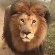 "<head> <title>Original Pastel Drawing Stunning African Lion</title> <meta name=""description"" content=""African Lion walking in brown grass.""> <meta name=""keywords"" content=""african lion, pastel drawing, Porter family""> </head> Amazing Animals, Majestic Animals, Rare Animals, Animals And Pets, Wild Animals, Funny Animal Videos, Cute Funny Animals, Cute Baby Animals, Cutest Animals"
