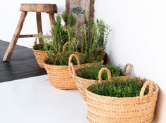 Paniers osier plantes