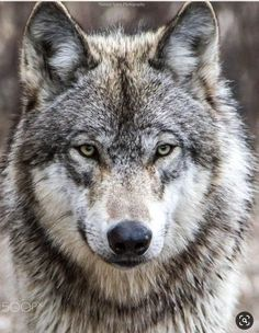 Cute Wild Animals, Animals And Pets, Baby Animals, Wildlife Photography, Animal Photography, Bret Michaels Band, Wolf Character, Wolf Images, Wolf Face