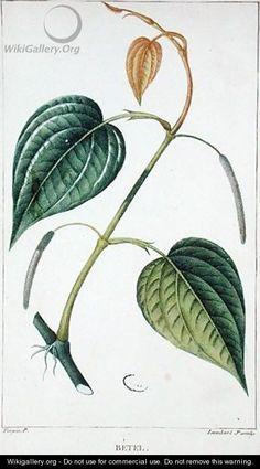 Betel, botanical plate, c.1810 - Pierre Jean Francois Turpin