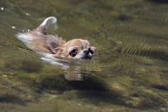 Aqua Chihuahua