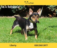 Liberty or Libby as she is known at Dogs Trust Ballymena is a sweet little Jack Russell Terrier who arrived at the centre heavily pregnant. She has reared her babies and they have all found new homes so now she is looking for a special home of her own.