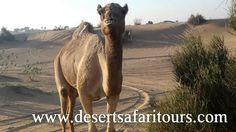 Camel Riding and Quad Bike Riding in Desert Safari #Dubai