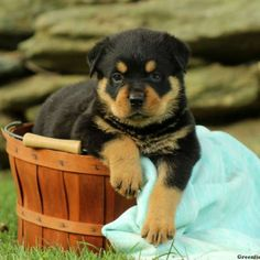 This puppy is VaccinatedThis puppy is Dewormed   This lovable Rottweiler puppy is happy-go-lucky, loves to explore and is just loads of fun! Bricker has a health guarantee through the breeder, is vet checked and vaccines and wormer up to date. Plus, he can be ACA registered. If you are looking for a new best friend, then this is the fella for you! Please contact the breeder to set up an appointment if you would like to meet Bricker and to get to know him!