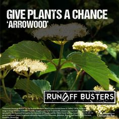 Give native plants a chance in your yard this year. Consider planting Arrowood. The Chesapeake Bay thanks you! #giveplantsachance #runoffbusters