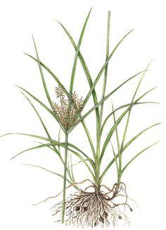 Yellow Nut Sedge (Cyperus esculentus) Sedge family: Cyperaceae