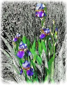 Purple Irises with Black and White Background. Enhanced photograph of purple irises set against and black and white background. Image measures 11 x 14 inches, and when matted will fit into a standard 16 x 20 inch frame. A limited edition printed on heavy glossy paper, it will come signed and dated.
