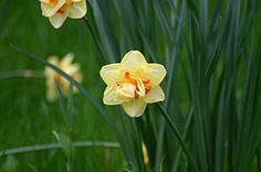 Narcis Tahiti (Narcissus Tahiti)   MijnTuin.org