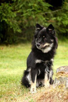 Finnish Lapphund Alaskan Klee Kai, Two Dogs, Scottish Fold, Border Collie, Finland, Dog Cat, Corgi, Pets, Animals