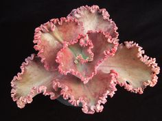 Echeveria 'Petticoat' - Flickr - Photo Sharing!