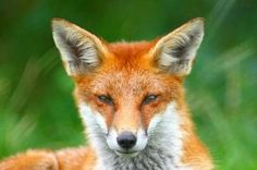 Photo Red Fox. There are more than 10 million feral foxes in Australia, but scientists are still debating whether or not foxes have become established in Tasmania. Fewer than 10 have ever been shown to be alive on the island state.