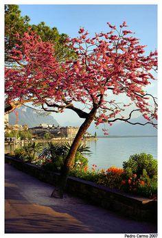 Summer Flowers in Montreux, Vaud, West, Switzerland Copyright: pedro carmo