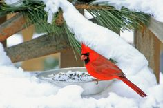 Cardinal in the snow. Classic holiday colors