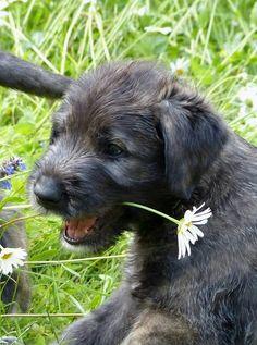 "Irish Wolfhound puppy - ""a dog owns nothing, yet is seldom dissatisfied"" -Irish proverb Cute Puppies, Dogs And Puppies, Cute Dogs, Doggies, Irish Wolfhound Puppies, Irish Wolfhounds, Scottish Deerhound, Baby Animals, Cute Animals"