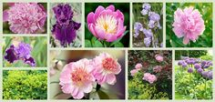 To help you plan your late spring or early summer garden, here is a plant combination, in shades of soft pink and purple, which includes 4 fabulous peonies that will bloom in succession
