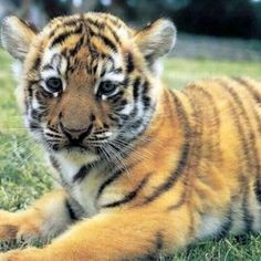 Wallpaper Hd Tiger Baby