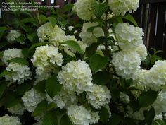 Doublefile Viburnum, Japanese Snowball Bush 'Newport' Viburnum plicatum var. tomentosum