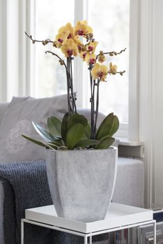 Phalaenopsis orkidé: http://www.mestergronn.no/blogg/orkide-forforende-og-vakker/