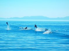 Playful dolphins in the Sea of Cortez.