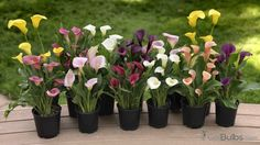 9 Best Patio Pots Images Calla Lily Bulbs For Sale Lily