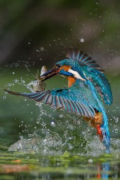 The common kingfisher (Alcedo atthis). This beautiful bird with iridescent blue feathers is distributed across Eurasia and North Africa. Kinds Of Birds, All Birds, Birds Of Prey, Love Birds, Pretty Birds, Beautiful Birds, Animals Beautiful, Cute Animals, Baby Animals