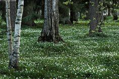 Vuokkometsä - wood anemones blooming, Piikahaka Tampere
