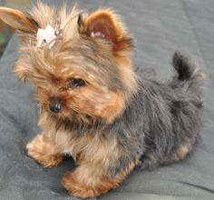 courtashyorkies Tiny T-cup yorkie pup 3 months.give meeeee Yorkies, Yorkie Puppy, Teacup Yorkie, Havanese Dogs, Chien Yorkshire Terrier, Yorky Terrier, Bull Terriers, Top Dog Breeds, Rottweiler Puppies