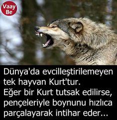 O yüzden Türkle kurtu benzetirler Türkler hüküm altında yaşamaktansa ölmeyi tercih ederler