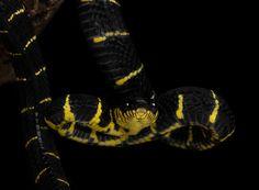 Mangrove snake with an attitude ;-)