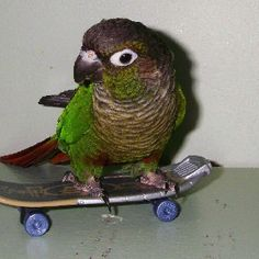 "My green cheek conure "" Larry Bird"" on his skate board!"