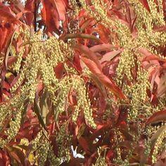 Andromède en arbre - Oxydendron arboreum